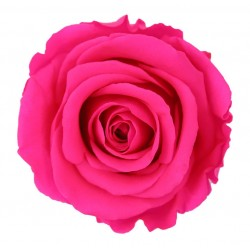 Bright Pink Preserved Roses (6)  Standard
