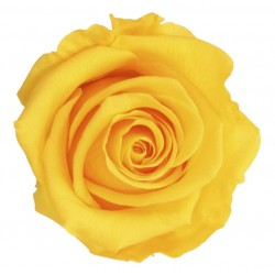Yellow Preserved Roses (6) Standard
